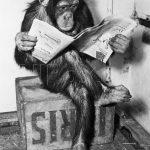 gazete okuyan şempanze dekoratif poster 2016